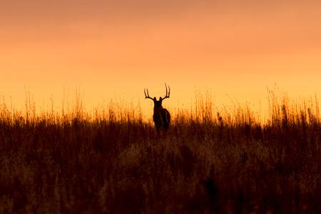 siluetas de animales: D�lar del Whitetail en la salida del sol Foto de archivo