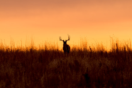 silhouettes: Whitetail Buck in the Sunrise