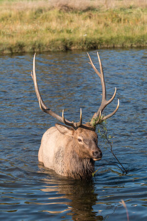 rutting: Rutting Bull Elk in Stream