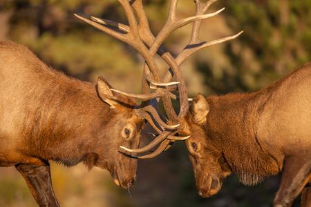 Bull Elk Fighting in Rut Foto de archivo