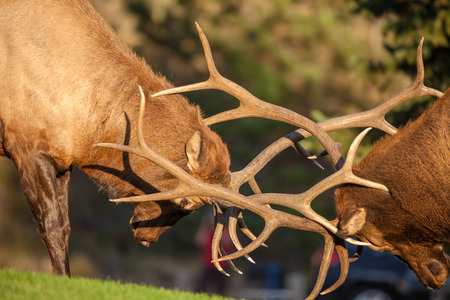 Bull Elk Fighting in Rut Stock Photo