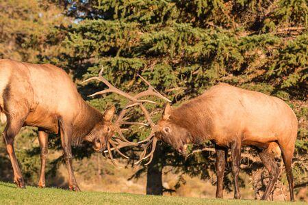 dominance: Pair of Bull Elk Fighting