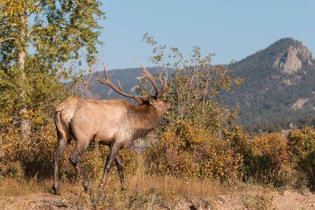 rutting: Rutting Bull Elk Bugling Stock Photo