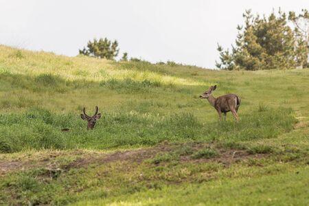 doe: Blacktail Deer Buck and Doe