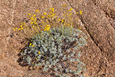 Desert Wildflowers Against Rock