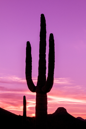 'southwest usa': Saguaro Cactus Silhouetted at Sunset