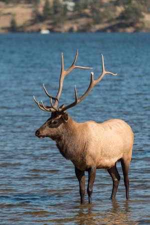wapiti: Bull elk in lake Stock Photo