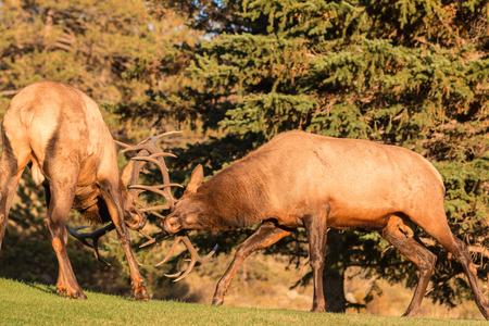bull fighting: Bull Elk Fighting Stock Photo