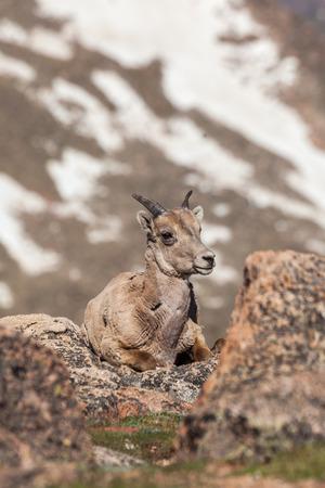 borrego cimarron: Borrego cimarrón ewe