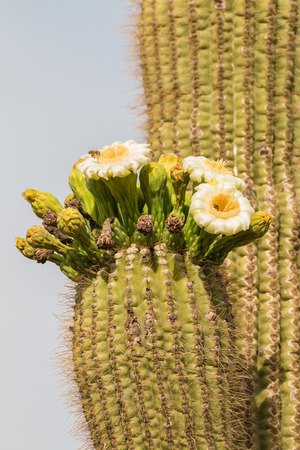 saguaro cactus: Saguaro Cactus in Bloom Stock Photo