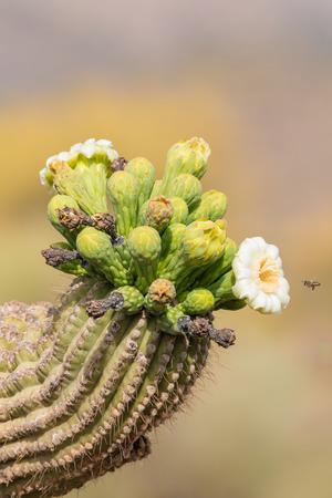 in bloom: Saguaro Cactus in Bloom Stock Photo