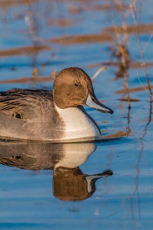 drake: Drake Pintail Duck Stock Photo