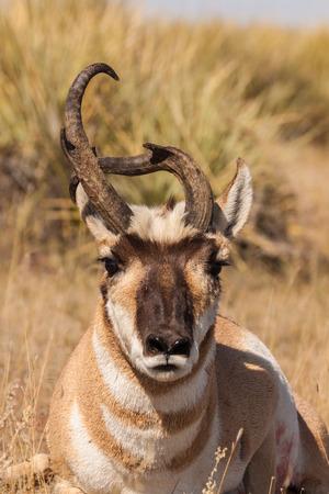 weird: Weird Pronghorn Antelope Buck