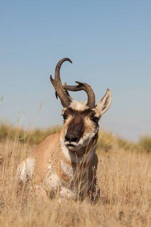 odd: Odd Pronghorn Antelope buck