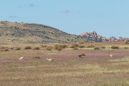 herd: Pronghorn Antelope Herd Stock Photo