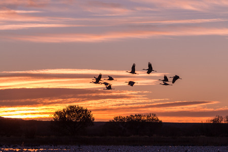 crane: Sandhill Cranes in the Sunrise Stock Photo