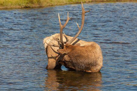 rutting: Bull Elk in River Stock Photo