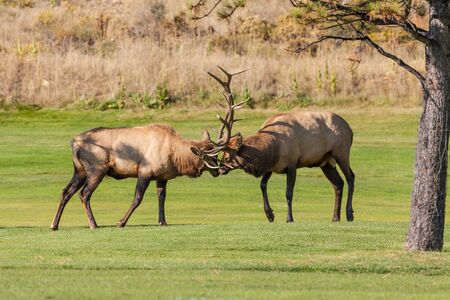 fighting bulls: Bull Elk Fighting for Dominance in the Rut Stock Photo