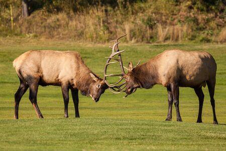 dominance: Bull Elk Fighting for Dominance in the Rut Stock Photo