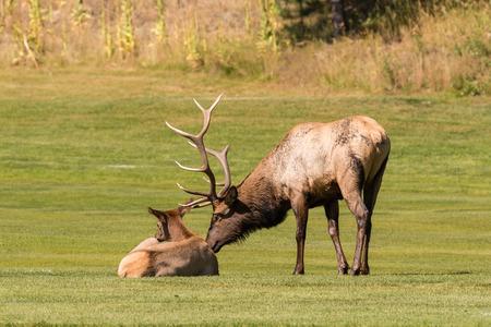wapiti: Rutting Bull and Cow Elk Stock Photo