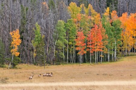 rutting: Rutting Elk in Fall Landscape Stock Photo