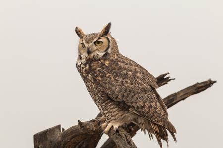 Great Horned Owl Foto de archivo