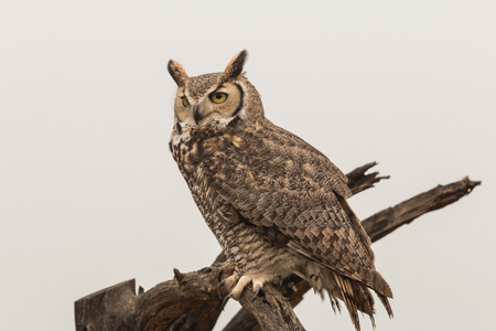Great Horned Owl Archivio Fotografico