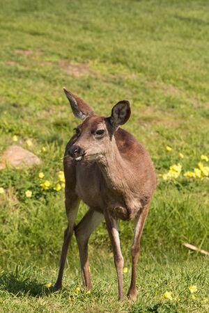 doe: Blacktail Deer Doe
