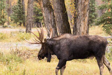 rut: Bull Moose in Rut Stock Photo