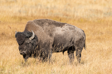 bison: Bison in Yellowstone National Park