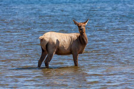 wapiti: Cow Elk Standing in Lake Stock Photo