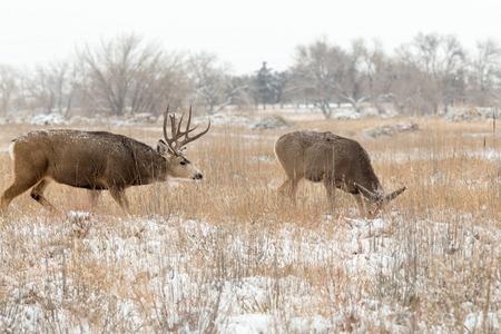 doe: Mule Deer Buck and Doe in Rut