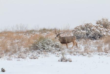 mule: Mule Deer Buck in Snowstorm Stock Photo