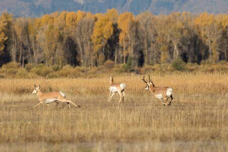 rutting: Rutting Pronghorn Antelope