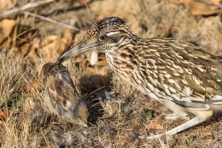 birds desert: Roadrunner Eating a Bird