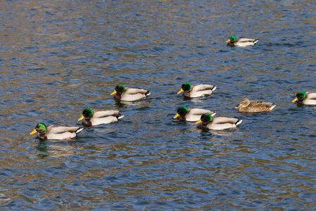 flock: Flock of mallards Stock Photo