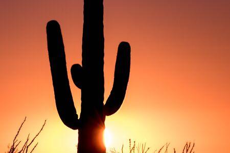 saguaro cactus: Saguaro cactus in Sunset