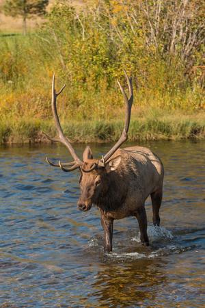 rut: Bull Elk in Stream During the Rut