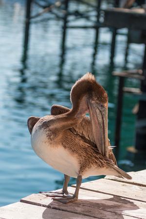 preening: Brown pelican Preening Stock Photo