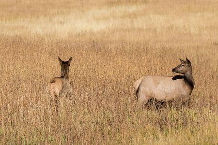 Cow and Calf Elk