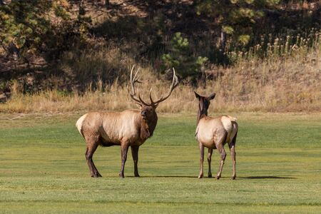 rut: Bull and Cow Elk in Rut Stock Photo