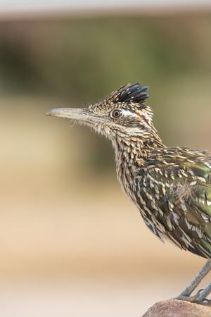 birds desert: Greater Roadrunner Stock Photo