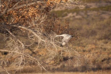 migrate: Sandhill Crane in Flight