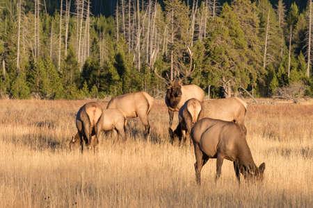 elk: Elk Herd in Rut