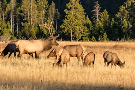 herd: Elk Herd in Rut