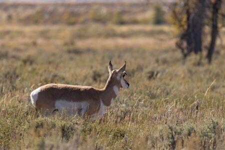 doe: Pronghorn Antelope Doe