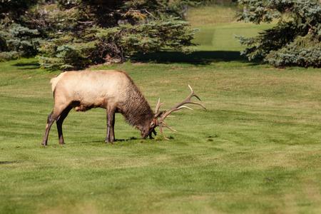 wapiti: Rutting Bull Elk