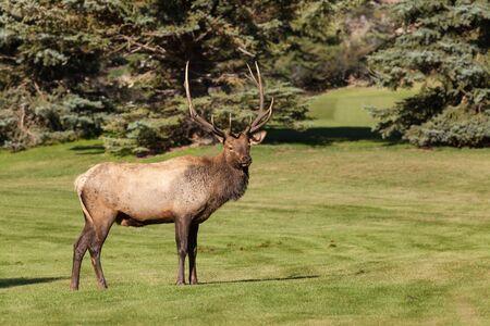 wapiti: Bull Elk Stock Photo