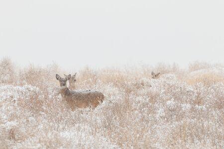 doe: Whitetail doe in Snow Stock Photo