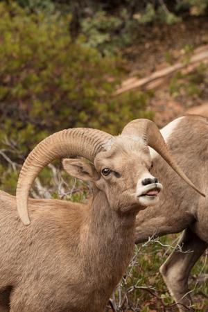 rutting: Desert Bighorn Ram in Rut